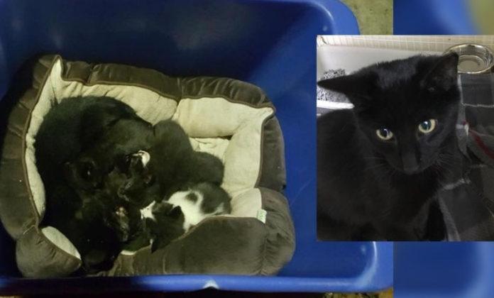 Gato macho cuidando gatitos abandonados