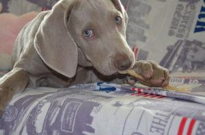 Los huesos para perros también tienen desventajas así que debes analizar muy bien los Pros y Contras