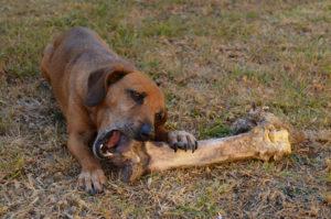 Ten en cuenta las ventajas de los huesos para perros