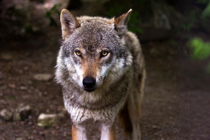 El lobo generalmente es parte de una manada