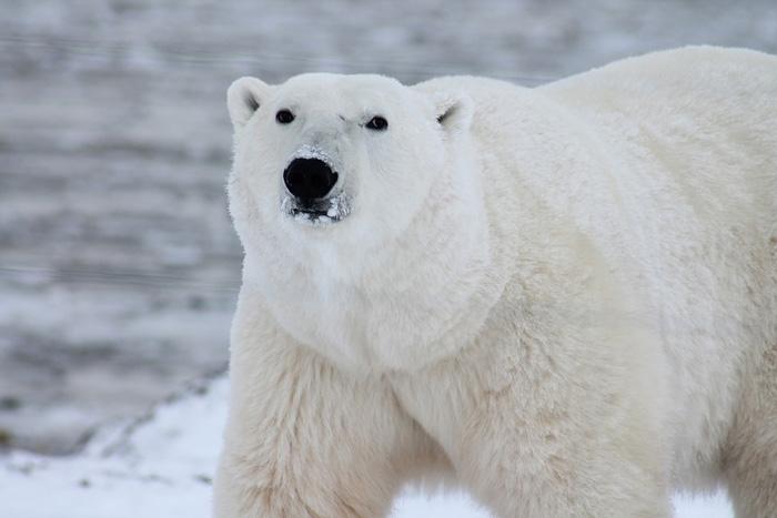 El oso polar es uno de los carnívoros terrestres más grandes del planeta