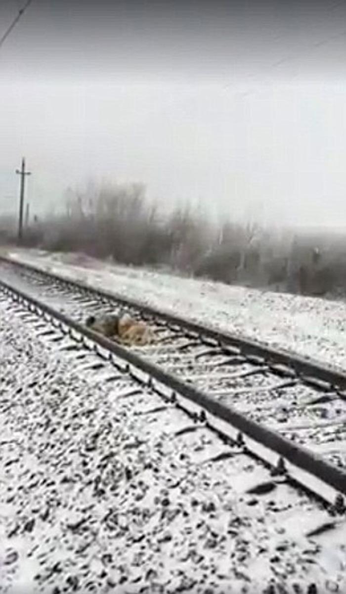 Panda y Lucy acurrucados en las vías del tren