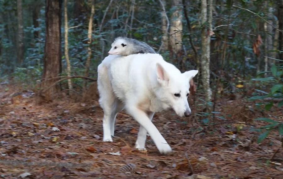 Perra adopta a zarigüeya huérfana