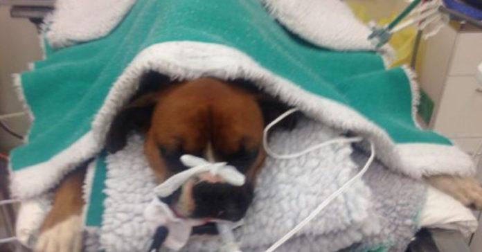 Perro fue mordido por una serpiente venenosa al salvar a una niña