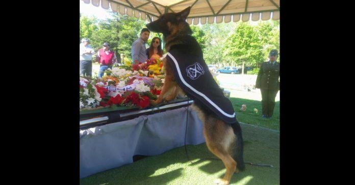 Perro policial se despidió emotivamente de su adiestrador fallecido
