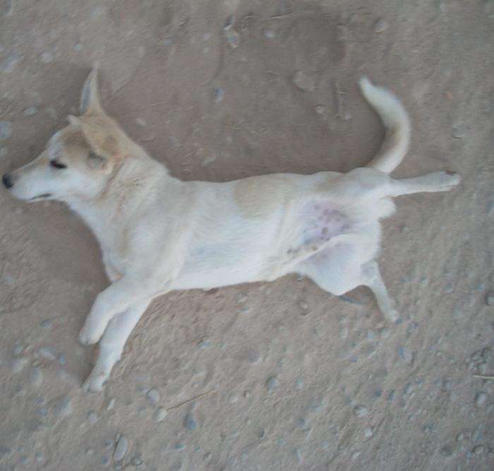 Perro sin hogar de Afganistán