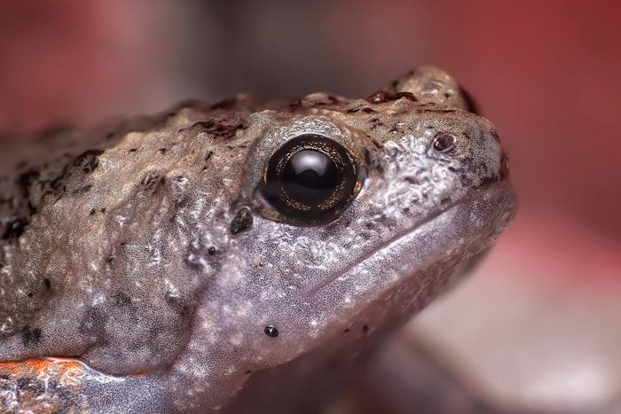 Las ranas adultas suelen llevar una dieta carnívora y se alimentan de pequeños invertebrados