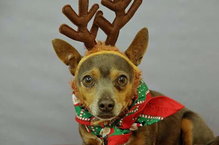 Perro con orejas de reno