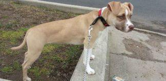 American Pitbull Terrier, curiosidades, características y cuidados