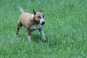 Bull terrier cachorro
