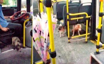 Conductor de autobús recoge perros durante tormenta