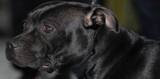 Conoce a la raza Staffordshire Bull Terrier