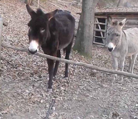 Este burro demostró su inteligencia al apartar una barrera de madera