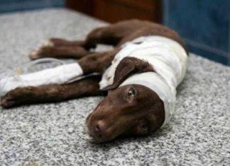 Este perro fue despellejado vivo