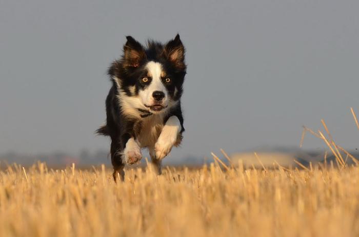 Este perro resulta ser una excelente compañía para su familia