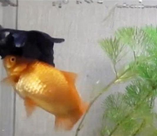 Este pez ayuda a su amigo discapacitado a alimentarse en la superficie
