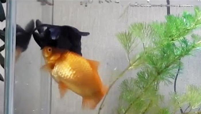 Este pez ayuda a su amigo