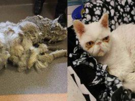 Gato tenía cinco libras de pelaje y vivió una impresionante transformación