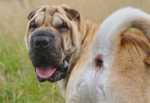 Glándulas anales de los perros