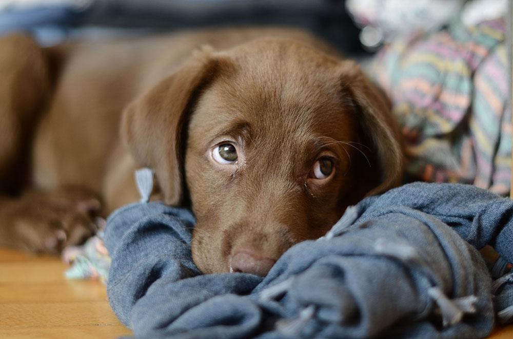 Glándulas anales del perro