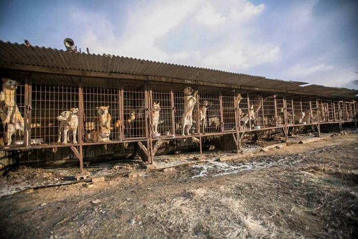Granja de carne de perro en Wonju, Corea del Sur