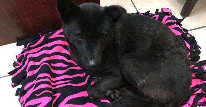Harriet obtuvo su primer cama tras haber sido rescatada de una granja de carne de perro