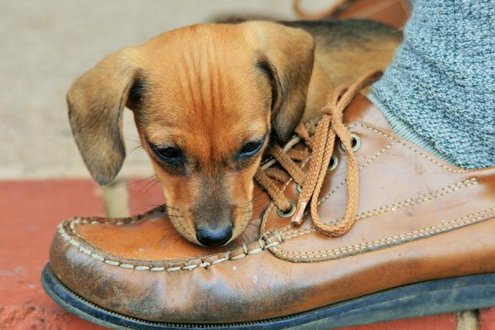 Los perros hiperactivos suelen ser destructivos