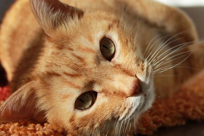 Falta de apetito en los gatos
