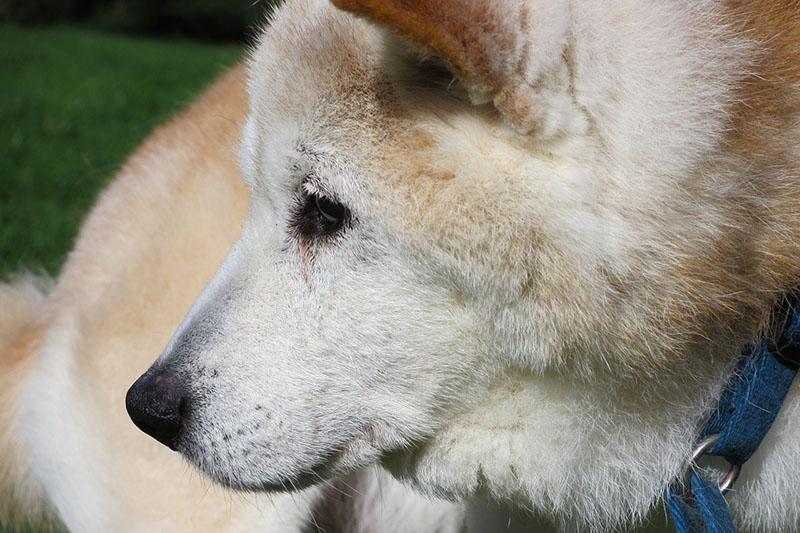 Perro adulto con artritis