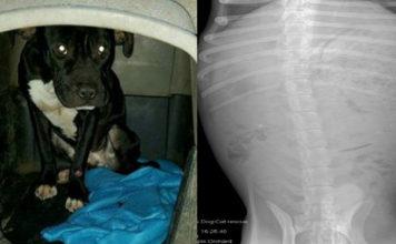 Perro comió escombros para poder sobrevivir tras haber sido abandonado