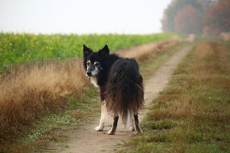 Perro con artritis