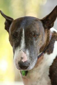 Perro de raza bull terrier