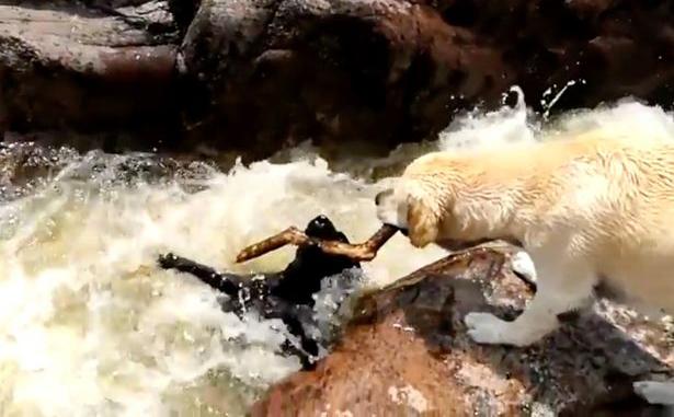 Perro salva a su amigo de ahogarse