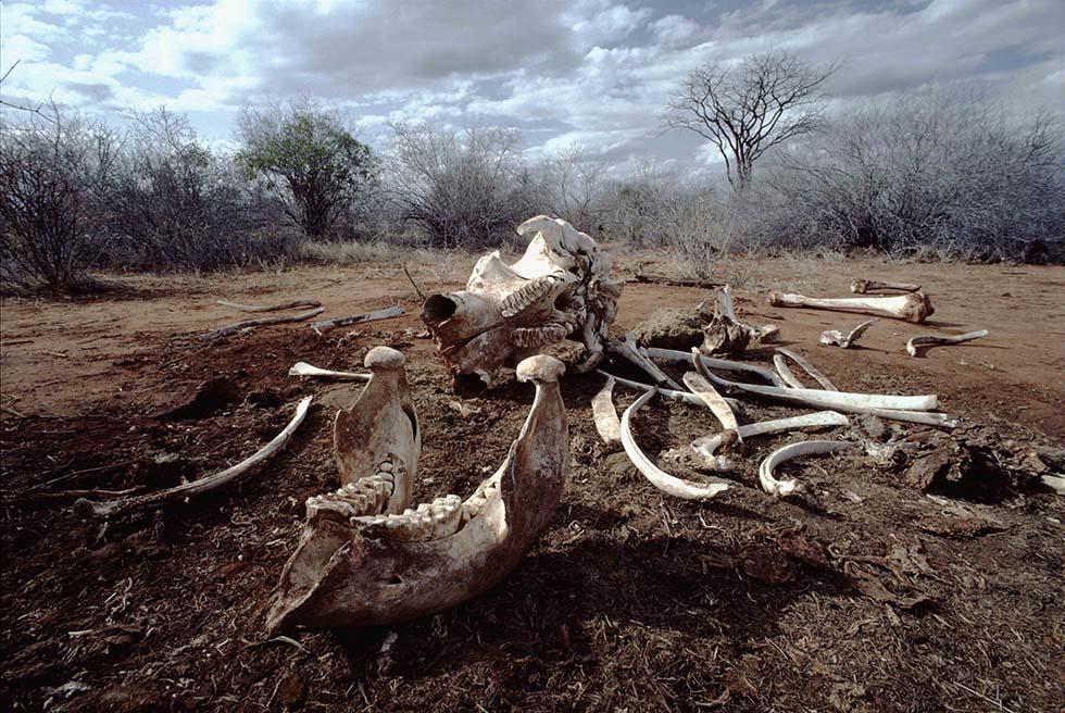 Restos de elefante africano