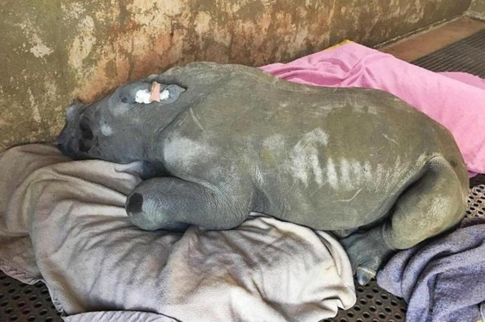 Rinoceronte balnco hembra