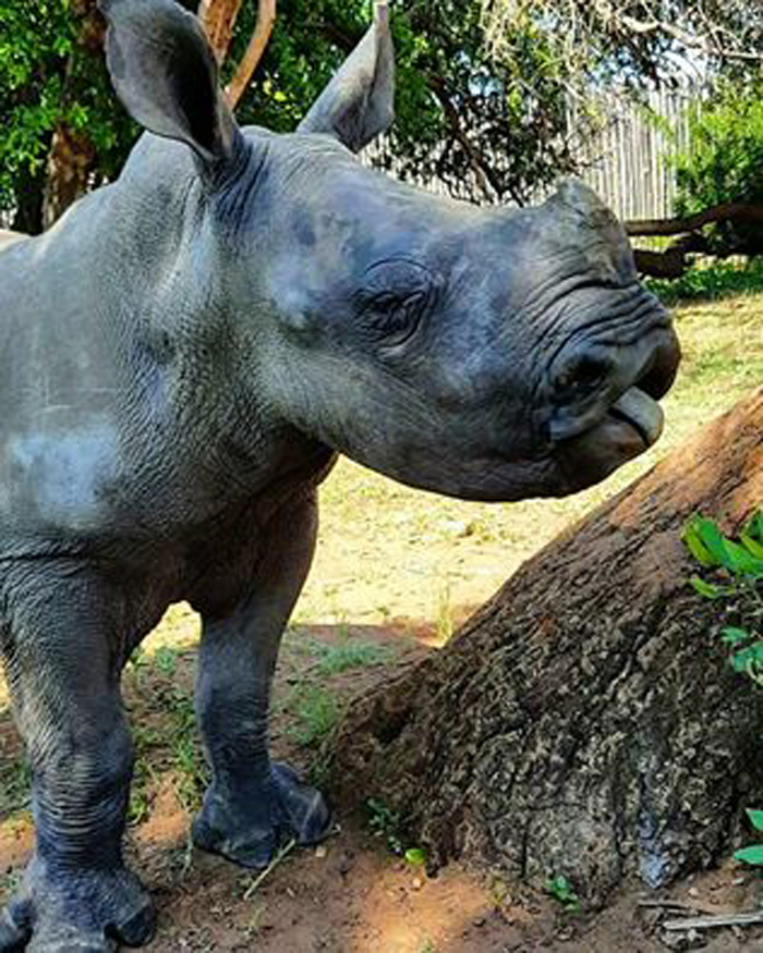 Rinoceronte hembra