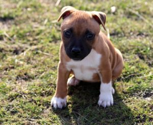 Staffordshire Bull Terrier cachorro