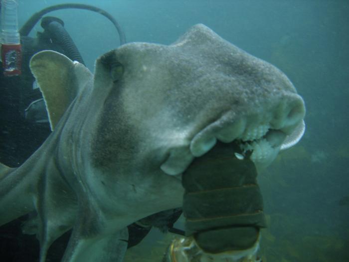 Tiburón hembra