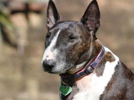 Todo lo que debes saber sobre el Bull terrier
