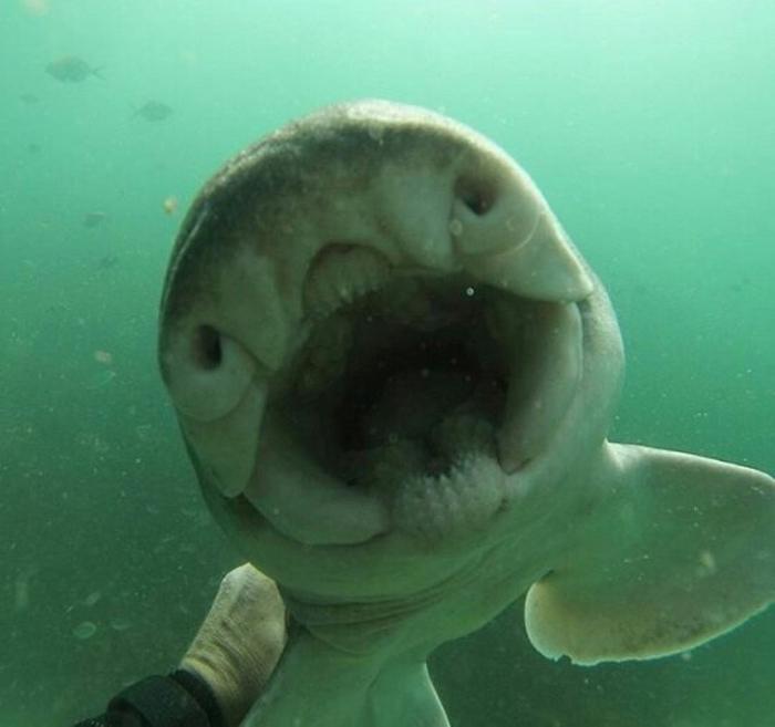 Tiburón de Port Jackson hembra