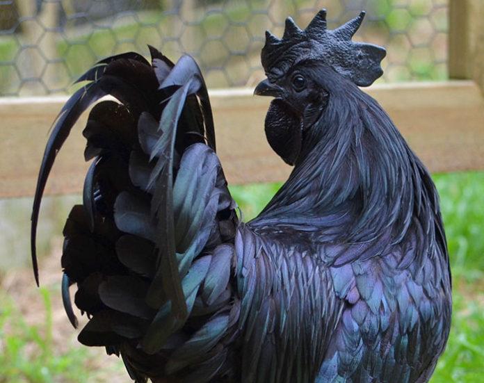 Ayam Cemani raro pollo negro