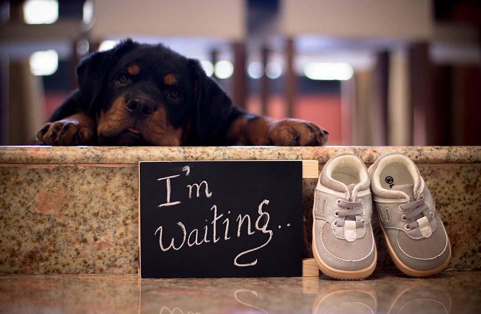 Cachorro espera la llegada del bebé