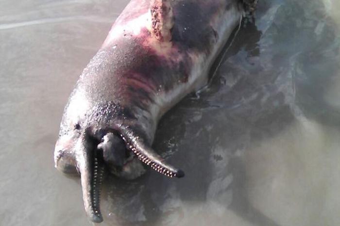 Delfín rosado asesinado