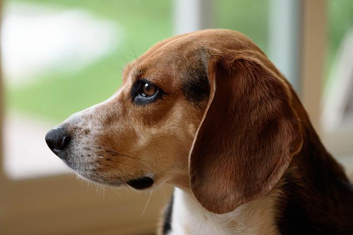 Perro beagle de perfil