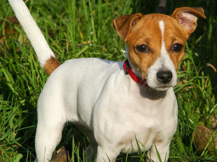 El Jack Russell Terrier tiene una buena adaptabilidad
