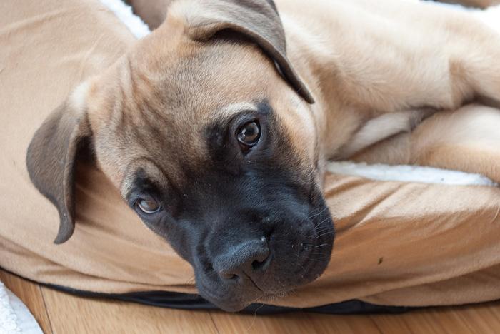Raza canina bullmastiff