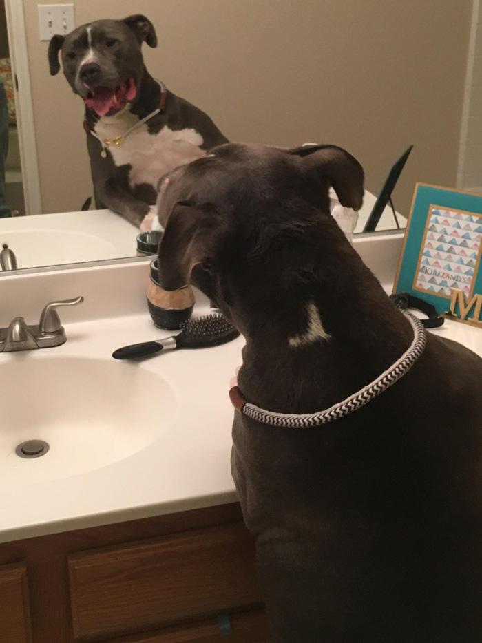 El perro ama mirarse en el espejo
