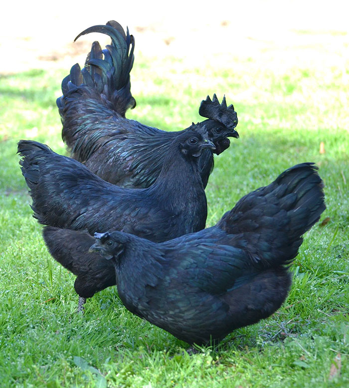 Especie de pollo negro