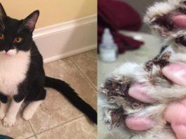 Esta gato estuvo a punto de morir porque cortaron sus garras brutalmente