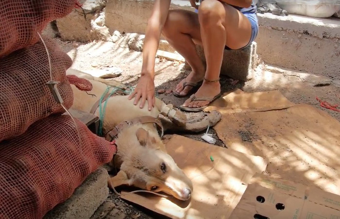 Este perro fue envenenado y estuvo al borde de la muerte